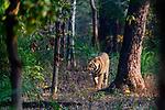 Male Bengal tiger (Panthera tigris tigris) walking through sal (Shorea robusta) forest. Bandhavgarh National Park, Madhya Pradesh, Central India.