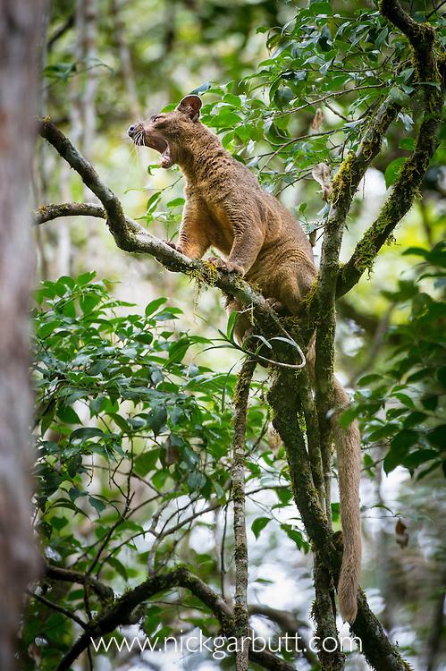 Male Fosa (Cryptoprocta ferox) (sometimes incorrectly Fossa) yawning after resting in the canopy. Mid-alitude rainforest, Andasibe-Mantadia National Park, eastern Madagascar. IUCN Endangered.