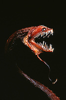 Dragonfish, Idiacanthius antrostomus, has a light-producing organ beneath its mouth called a barbel. This lure attracts prey close so the fish can lunge forward and grab a meal.