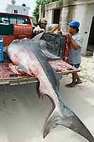 sharkfishing, A dead Tiger Shark (Galeocerdo cuvier) barely fits onto the back of a fisherman's truck. Holbox Island, Mexico, Caribbean, Atlantic