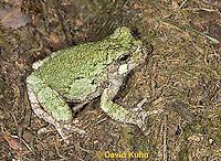 "0917-07ww  Gray Tree Frog - Hyla versicolor ""Virginia"" © David Kuhn/Dwight Kuhn Photography"