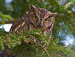 Screech owl, Seattle, Washington