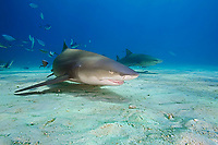Lemon Sharks, Negaprion brevirostris, West End, Grand Bahama, Bahamas, Caribbean, Atlantic Ocean