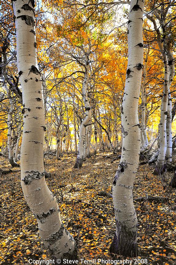 Aspen grove in fall on  Steens Mountain in Southeastern Oregon