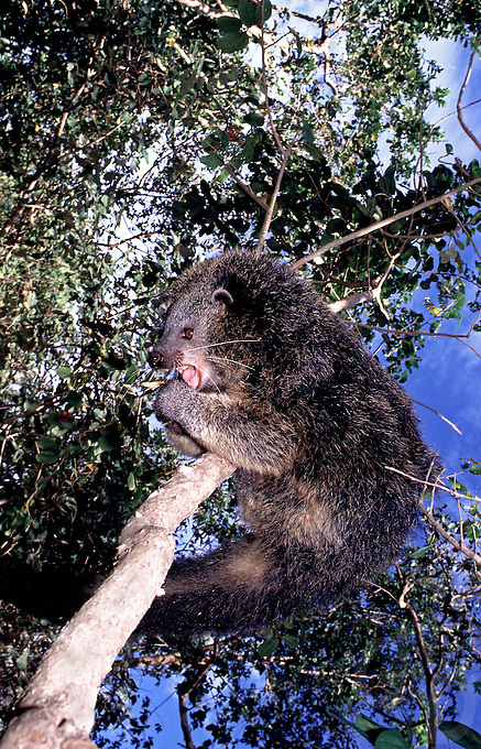 The endemic and RARE PHILIPPINE BEARCAT from Palawan, southern Philippines