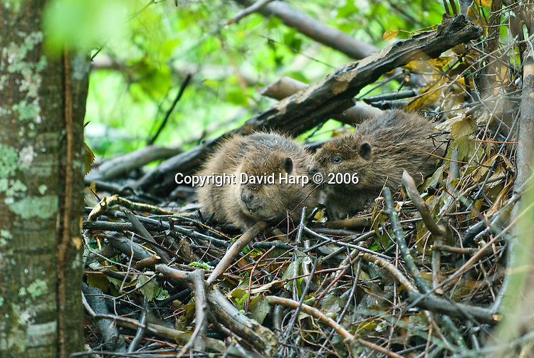 Juvenile beaver sit atop their lodge during a Nor'easter induced high tide
