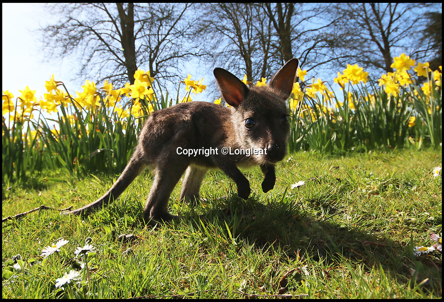 BNPS.co.uk (01202 558833)<br /> Pic: IanTurner/BNPS<br /> <br /> First hops...Newt the Wallaby has a spring in his bounce.<br /> <br /> Full of the joys of Spring - This lucky baby wallaby at the Longleat Safari Park is celebrating the much delayed arrival of spring sunshine after being rescued from certain death when abandoned by his mother during the 'Beast from the East'.<br /> <br /> Keeper Gemma Short has had to step in and carry him around in a substitute pouch made from a rucksack - but now spring is finally on the way he should be able to hop around on his own more frequently.