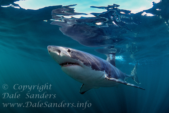 Underwater photo of a Great White Shark (Carcharodon carcharias) off South Africa. Photo Copyright Protected © Dale Sanders / www.dalesanders.info  All Rights Reserved.