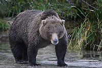 A picture of a coastal brown bear or grizzly in Alaska's Katmai National Park. Grizzly Bear or brown bear alaska Alaska Brown bears also known as Costal Grizzlies or grizzly bears Grizzly Bear Photos, Alaska Brown Bear with cubs. Purchase grizzly bear fine art limited edition prints here Grizzly Bear Photo Bear Photos,
