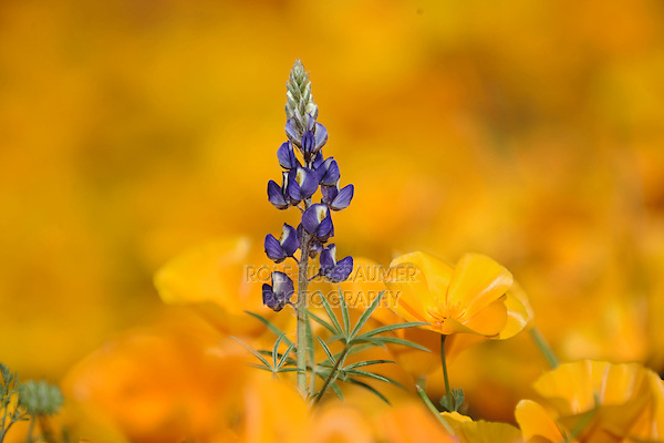 Desert Lupine (Lupinus sparsiflorus) in field of Mexican Gold Poppy (Eschscholzia californica mexicana), blooming, Tonto National Forest, Bartlett Lake , Arizona, USA