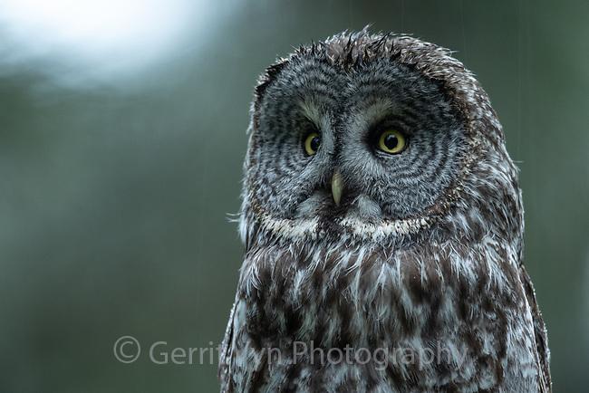 Great Gray Owl (Strix nebulosa). Jackson County, Oregon.