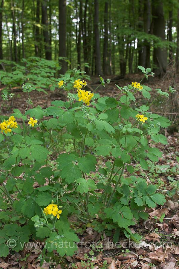 Schöllkraut, Schöll-Kraut, Chelidonium majus, Greater Celandine