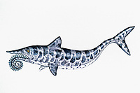 illustration, Helicoprion, fossil shark, Russia, Iran, Japan, Western Australia, southwest USA, size 10', lower permian, 250 MYA