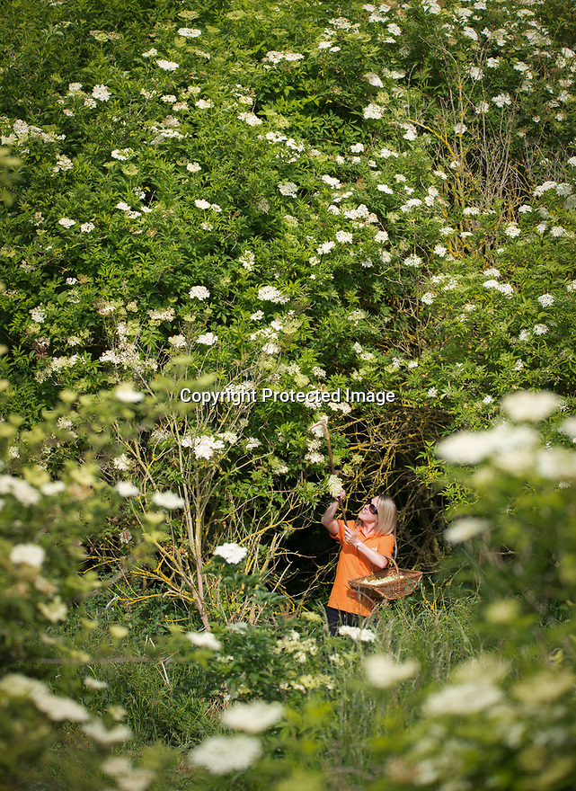 12/07/18<br /> <br /> Sarah Morris picks flowers for Belvoir Fruit Farms at Britain's only elderflower plantation near Branston, Leicestershire. Thanks to this year's warm weather, pickers, who are paid by the weight of the tiny flowers they harvest for the drinks maker, are expected to gather a record-breaking 60 tons of elderflower.<br /> <br /> All Rights Reserved F Stop Press Ltd. +44 (0)1335 344240 +44 (0)7765 242650  www.fstoppress.com