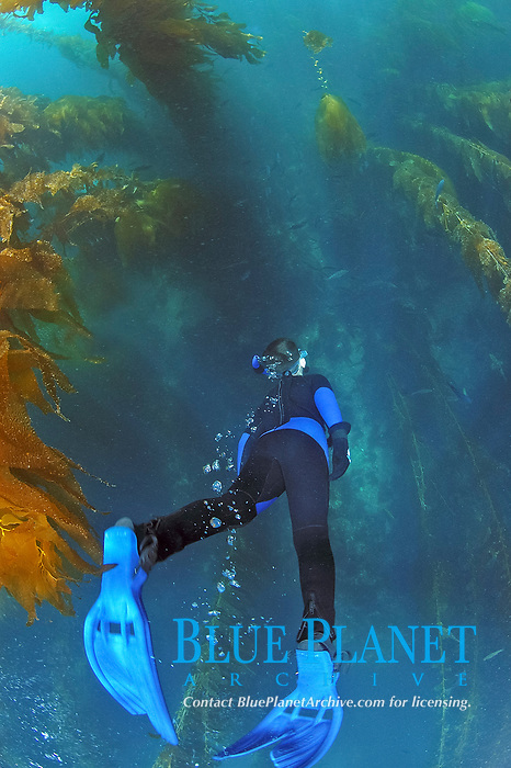 young snorkler decends into kelp bed, Macrocystis pyrifera, Catalina Island, California, USA, Pacific Ocean