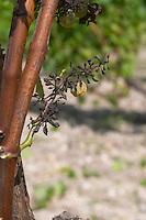 Ill grape bunch rotten by bad weather. Sauvignon Blanc. Mildiou, mildew disease. Chateau Guiraud, Sauternes, Bordeaux, France