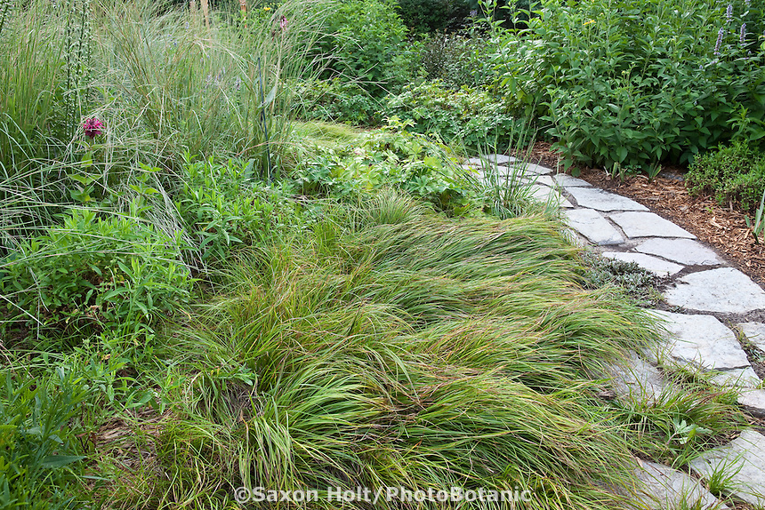 Low groundcover layer of Carex pennsylvanica, Pennsylvania Sedge between path and native plant perennials in Mayberg garden