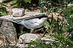 Roseate tern standing next to nesting box on Bird Island, Marion, Massaachusetts.