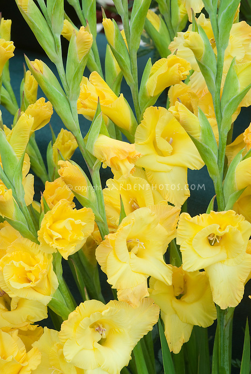 Gladiolus Jester Gold summer flowering bulb in yellow blooms