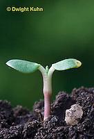 FB03-500z Lupin seedlings, Lupinus perennis.