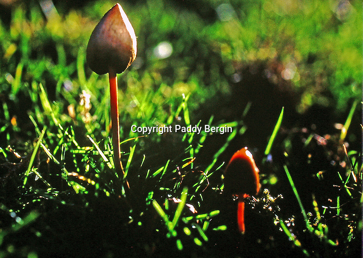 Psilocybin mushrooms, also known as psychedelic mushrooms, are mushrooms that contain the psychedelic drugs psilocybin and psilocin. Common colloquial terms include magic mushrooms and 'shrooms.<br /> <br /> There are also studies which include reports of psilocybin mushrooms sending both obsessive-compulsive disorders (OCD) and OCD-related clinical depression (both being widespread and debilitating mental health conditions) into complete remission immediately and for up to months at a time, compared to current medications which often have both limited efficacy and frequent undesirable side-effects.<br /> <br /> Stock Photo by Paddy Bergin