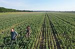 Foto: VidiPhoto<br /> <br /> RANDWIJK – Biologisch-dynamisch akkerbouwer André Jurrius uit Randwijk en algemeen-directeur Marieke Laméris van Lekker Lupine BV bestuderen woensdag de groei van de witte lupine op het 7 ha. grote perceel van de Betuwse boer. Het gewas staat op dit moment in volle bloei en de oogst wordt eind augustus verwacht. Dit jaar hebben acht boeren, 35 ha. van het superfood ingezaaid, een verdubbeling ten opzichte van vorig jaar. Het is de bedoeling dat het Nederlandse areaal ieder jaar fors toeneemt. Het eiwit- en vezelrijke voedsel is supergezond, goed voor de biodiversiteit en bindt stikstof aan de bodem. Op termijn moet het soja uit Zuid-Amerika vervangen. Omdat het voedsel nog weinig bekend is bij consumenten start dit jaar een uitgebreide voorlichtingscampagne. Van lupine kan zelfs koffie gemaakt worden.