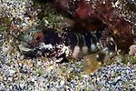 Acanthemblemaria medusa, Medusa blenny, Tobago