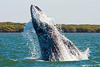 A California Gray gray sub-adult (Eschrichtius robustus) breaching (note the water pouring out of the mouth!) in Magdalena Bay near Puerto Lopez Mateos on the Pacific Ocean side of the Baja Peninsula, Baja California Sur, Mexico. Each winter thousands of California gray whales migrate from the Bering and Chukchi seas to breed and calf in the warm water lagoons of Baja. This is the furthest sout of the three major such lagoons. Current (2008) population estimates put the California Gray gray at between 20,000 and 24,000 animals.