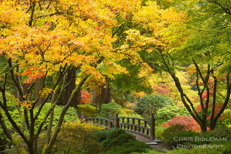 Fall colors of the Japanese maple tree leaves frame the Moon bridge and path into the woods in the strolling garden of the Portland Japanese Garden.