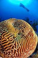 boulder brain coral, or large-grooved brain coral, Colpophyllia natans, and scuba diver, Gardens of the Queen, Jardines de la Reina, Jardines de la Reina National Park, Cuba, Caribbean Sea, Atlantic Ocean