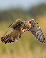 BNPS.co.uk (01202 558833)<br /> Pic: Martin Buckley/BNPS<br /> <br /> These amazing photos capture the moment a kestrel feasts on a dragonfly it has just snared at a nature reserve.<br /> <br /> The majestic bird hovered above the colourful insect for several seconds before diving down into the long grass.<br /> <br /> It reemerged with it between its talons and flew off to 'enjoy its capture' in Eastbrookend Country Park, in Dagenham, Essex.