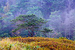 Tree highlighted against fog at Point Wilson, near Port Townsend, Washington.  This is the site of a former military gun battery covered by foreground brush.  Fall color. Olympic Peninsula