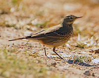 American pipit in winter