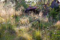 Dappled sunlight in California backyard meadow garden with bunch grasses framed by Stipa gigantea and home, Barbata garden, Walnut Creek, California