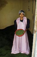 INDIA Kochi, deep freeze production of green pepper / INDIEN Cochin, Herstellung von gruenem Pfeffer durch ein Tiefkuehlverfahren