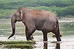 Wild bull / male Asian Elephant (Elephas maximus) walking through lake margins. Yala National Park, Sri Lanka.