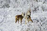 Coyotes on morning after a fresh snow.  Western U.S., November.