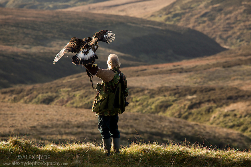 Male Golden Eagle {Aquila chrysaetos} on falconer's arm overlooking moorland, Peak District National Park, UK. Captive bird. Model release.
