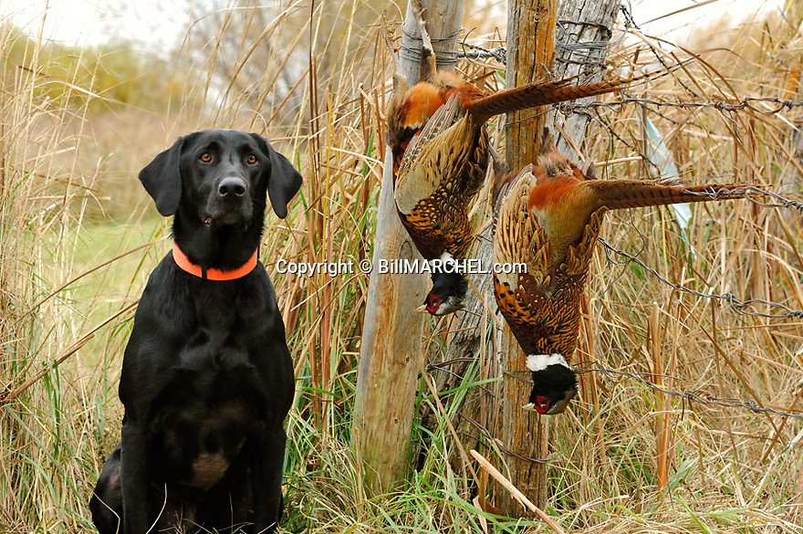 00975-015.06 Labrador Retriever: Black Lab poses with two bagged rooster pheasants.  Hunt, retrieve, dog, prairie.