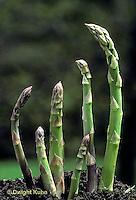 HS20-003a  Asparagus - new shoots, perennial - Mary Washington variety