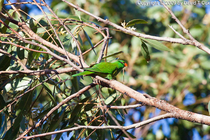 Scaly Breasted Lorikeet,  Tomaree NP, Australia