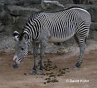 0906-0807  GrÈvy's zebra, Imperial Zebra, Equus grevyi  © David Kuhn/Dwight Kuhn Photography.