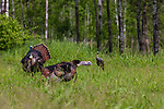 Tom turkeys strutting/gobbling for a hen decoy in northern Wisconsin.