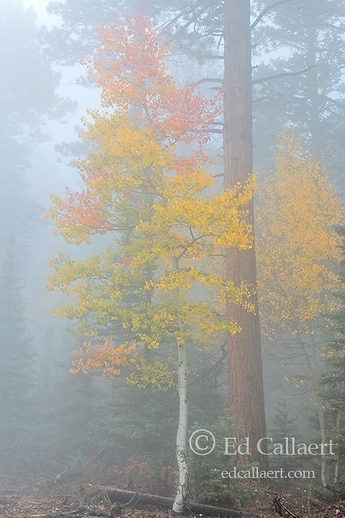 Aspen in Fog, North Rim, Grand Canyon National Park, Arizona