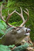 Coastal Black-tailed Deer buck (Odocoileus hemionus) sniffing--flehmen display or lip curling-- during fall rut.  Pacific Northwest.  Fall.