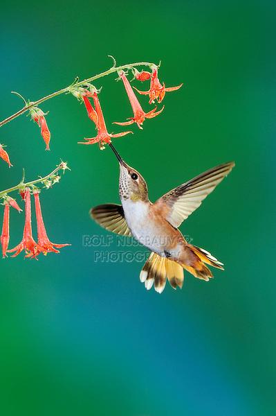 Rufous Hummingbird (Selasphorus rufus), female in flight feeding on Scarlet Gilia (Ipomopsis aggregata), Gila National Forest, New Mexico, USA