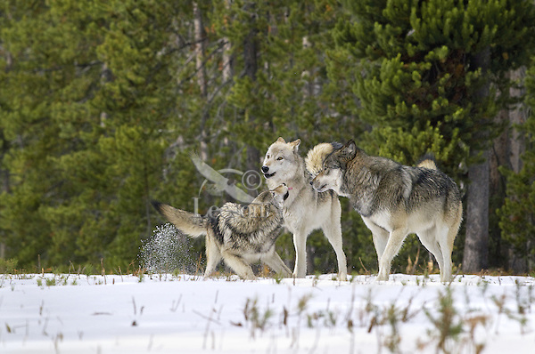 Wild GRAY WOLF (Canis lupus) behavior--approximately 6 month old pup on left showing submission/playfulness to adults (creamier wolf is his mom).  Greater Yellowstone Ecological Area.  Fall.