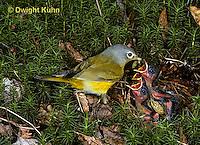 WB03-005z  Nashville Warbler - adult feeding young in nest - Vermivora ruficapilla.