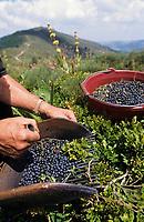 Europe/France/Auvergne/15/Cantal/Parc Naturel Régional des Volcans/Massif du Puy Mary: Ramassage des myrtilles avec le peigne
