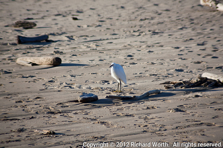 A Snowy egret surveys its domain - the driftwood and footprint littered sands at Pomponio State Beach, on the  California coast.
